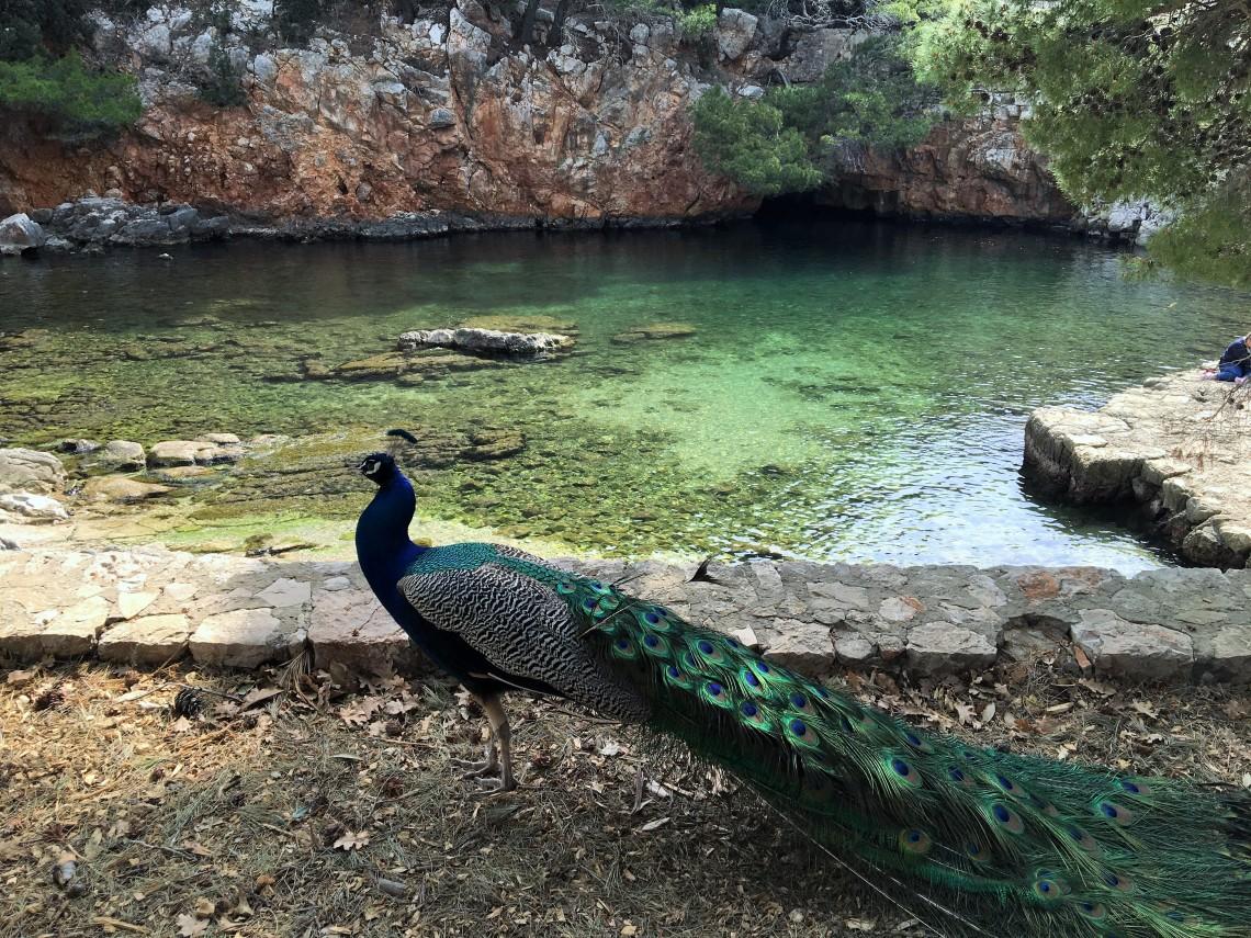 Lokrum adasından bir tavus kuşu
